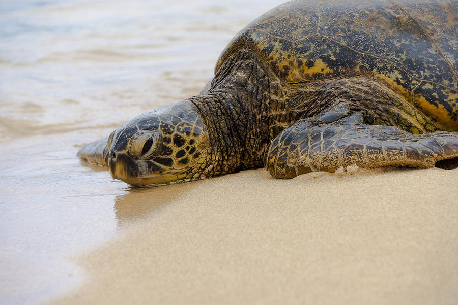 Animals Photograph - Hawaiian Green Sea Turtle 3 by Brian Harig