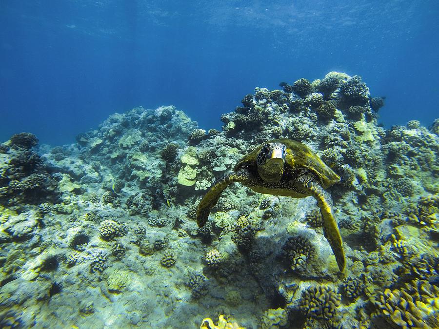 Hawaii Photograph - Hawaiian Green Sea Turtle by Brad Scott