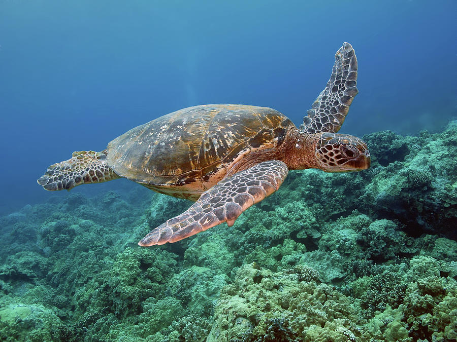 Hawaiian Green Sea Turtle, Kona, Hawaii Photograph by Stevedunleavy.com