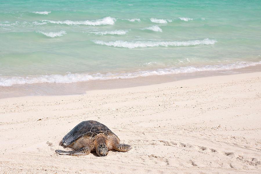 Adult Photograph - Hawaiian Green Turtle / Chelonia Mydas by Daisy Gilardini