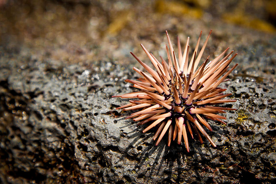 Sea urchin is the common name for various spiky echinoderms within the class Echinoidea characterized by pentamerous radial symmetry a hard calcareous shell or