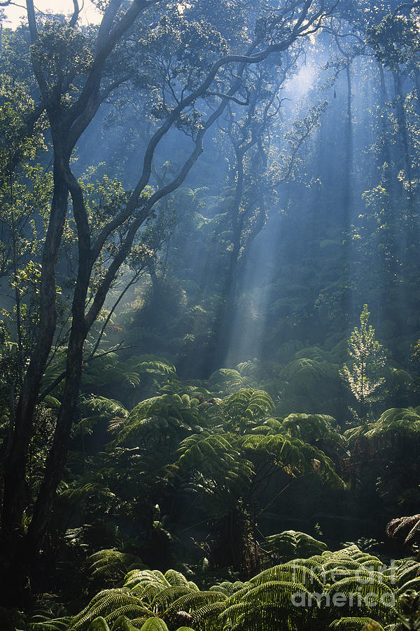 Tree Fern Photograph - Hawaiian Rainforest by Gregory G. Dimijian, M.D.
