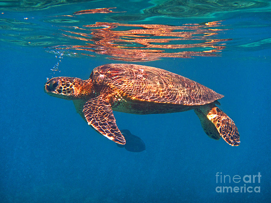Hawaiian Sea Turtle in Flight by Bette Phelan
