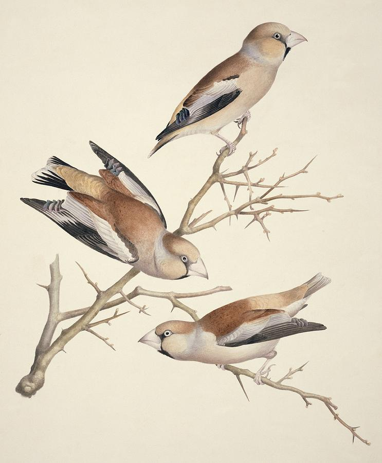 1800s Photograph - Hawfinches, 19th Century Artwork by Science Photo Library