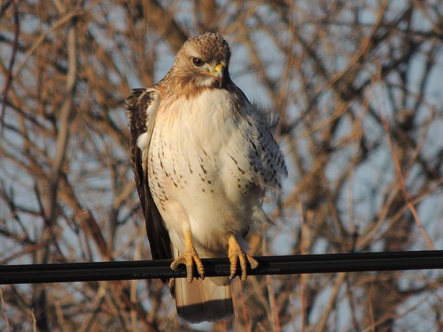 Redtail Hawk Photograph - Hawk #21 by Todd Sherlock
