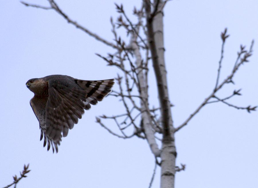 Hawk Photograph - Hawk and Birch by Valerie Wolf