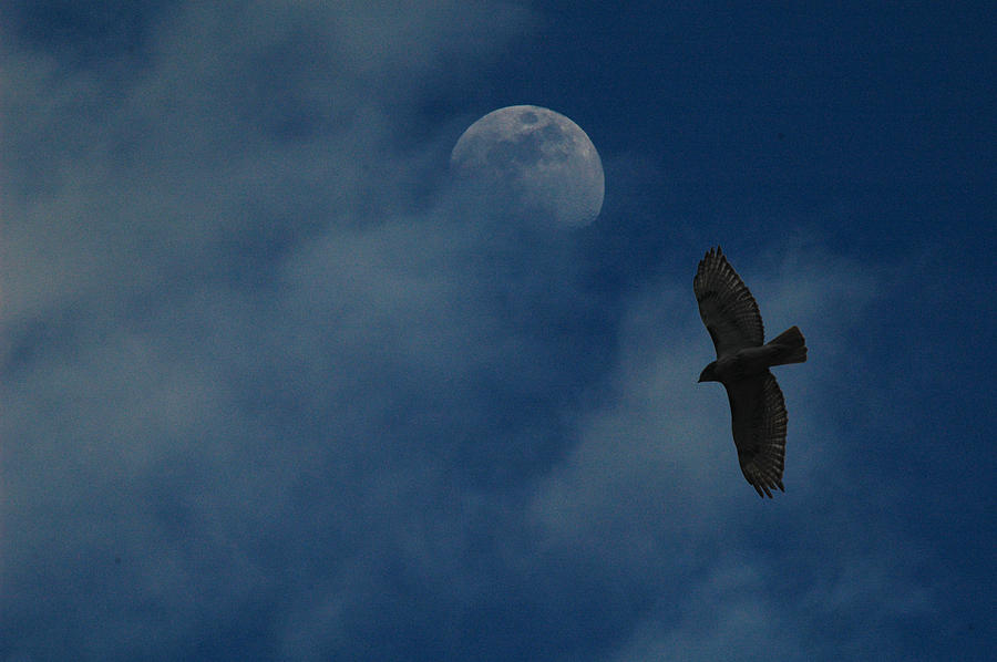 Hawk Photograph - Hawk And Moon Coming Out Of The Mist by Raymond Salani III