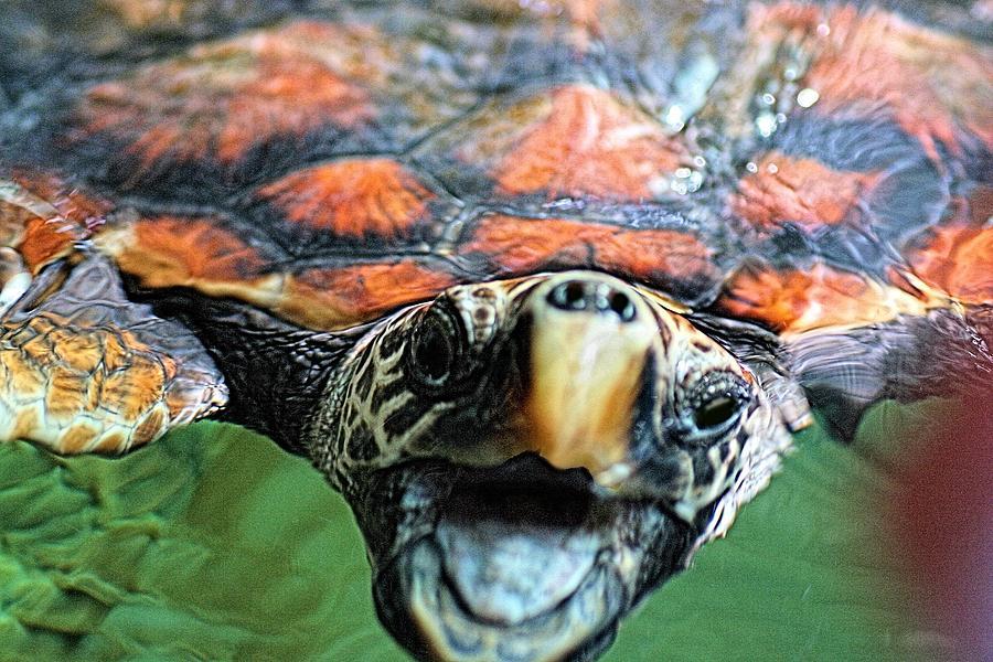 Hawk Billed Turtle by David Rich