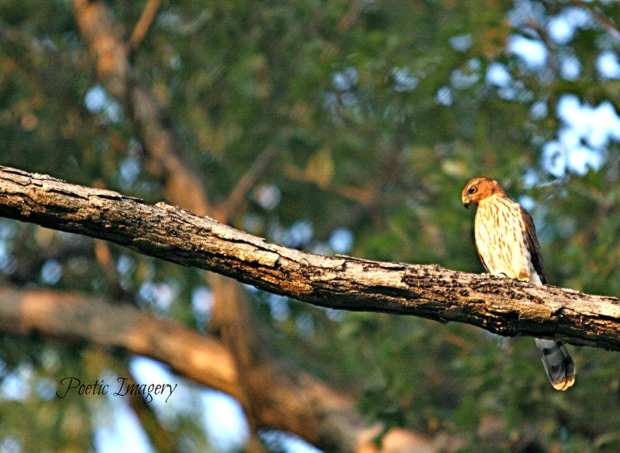 Fauna Photograph - Hawk by Debbie Sikes