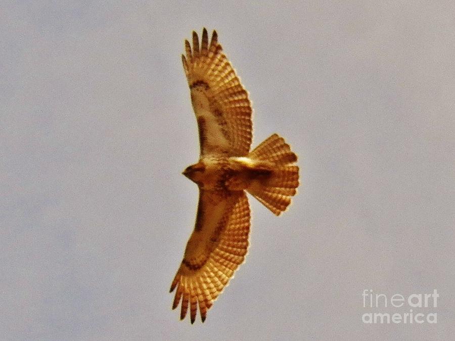 Hawk Photograph - Hawk Flight by Judy Via-Wolff