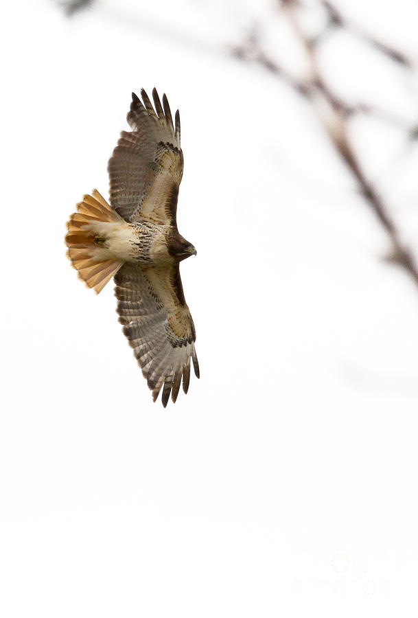 Red-tailed Hawk Photograph - Hawk In Flight by Jill Bell