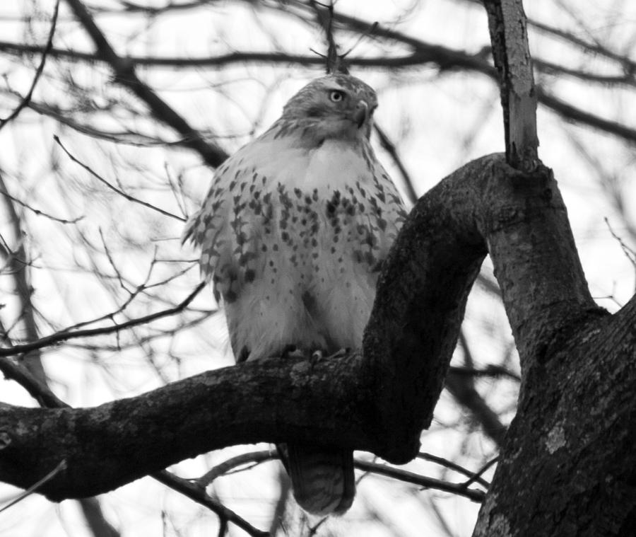 Image result for hawk in tree