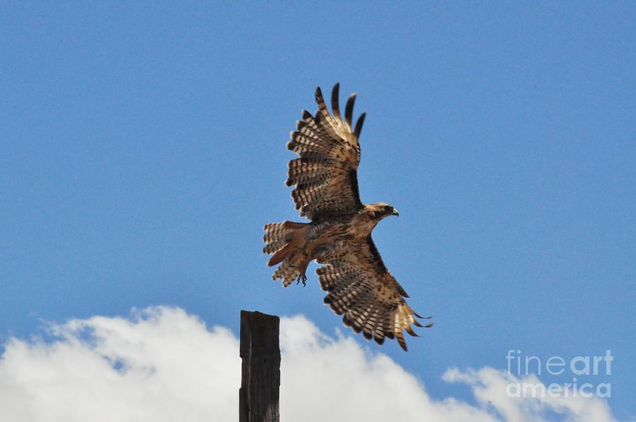 Hawk Photograph - Hawk Launch by Debby Pueschel