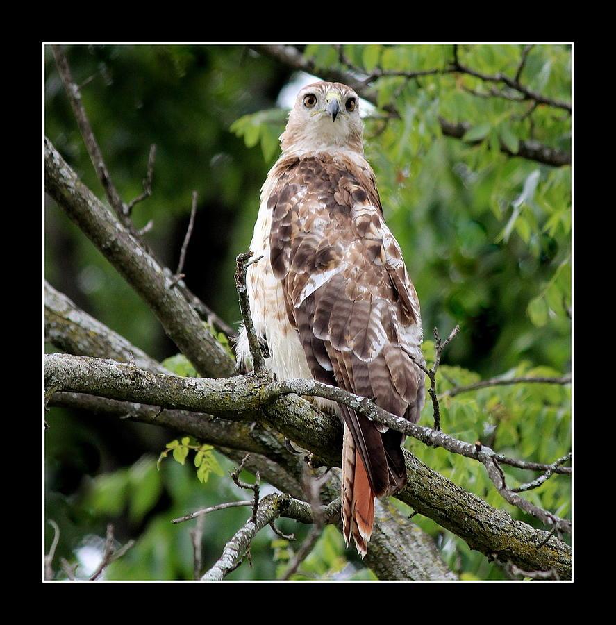Red Tail Hawk Photograph - Hawk On Alert by Rosanne Jordan