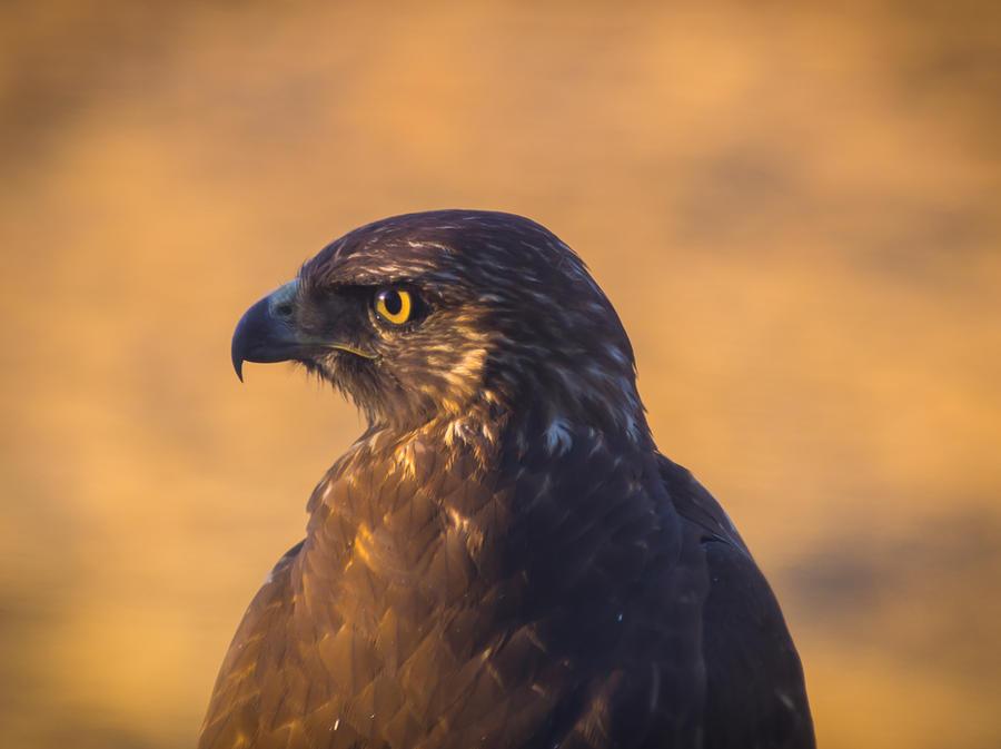 California Photograph - Hawk Portrait by Marc Crumpler