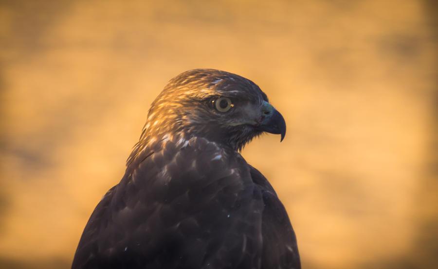 California Photograph - Hawk Profile by Marc Crumpler