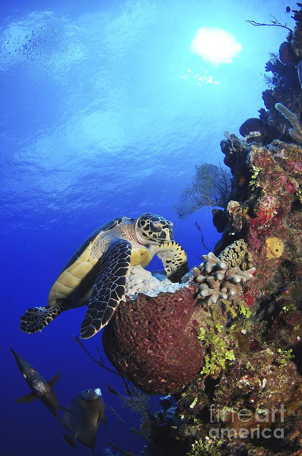 Hawksbill Sea Turtle And Gray Angelfish Photograph