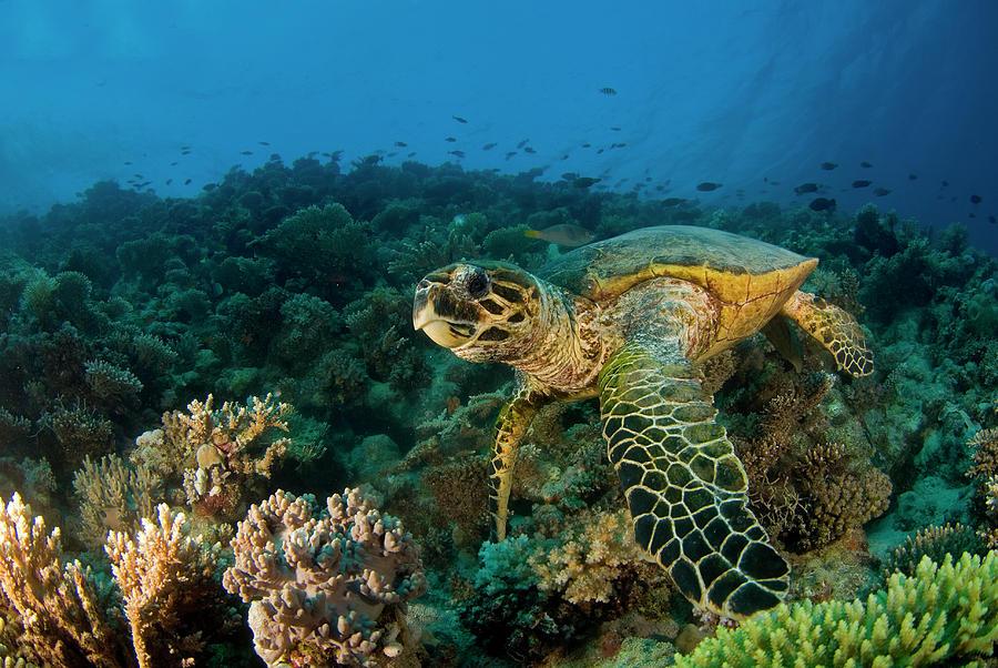 Hawksbill Sea Turtle Photograph by Ilan Ben Tov