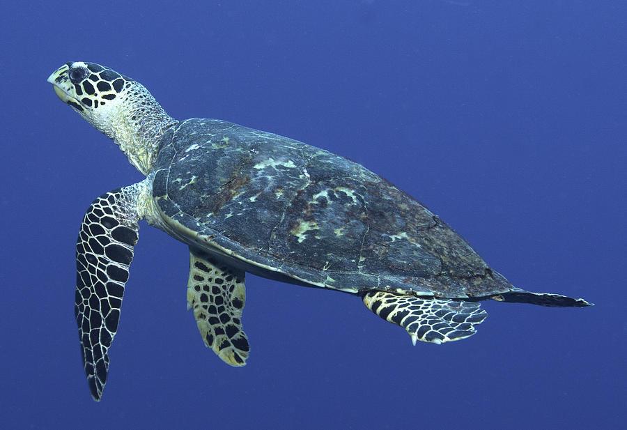 Underwater Photograph - Hawksbill Turtle by Paula Marie deBaleau
