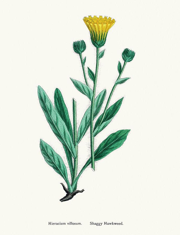 Hawkweed Chicory Plant 19th Century Digital Art by Mashuk