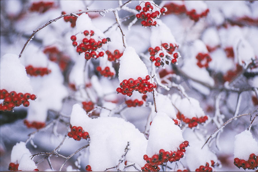 Hawthorn Berries In Winter Photograph By David Drew