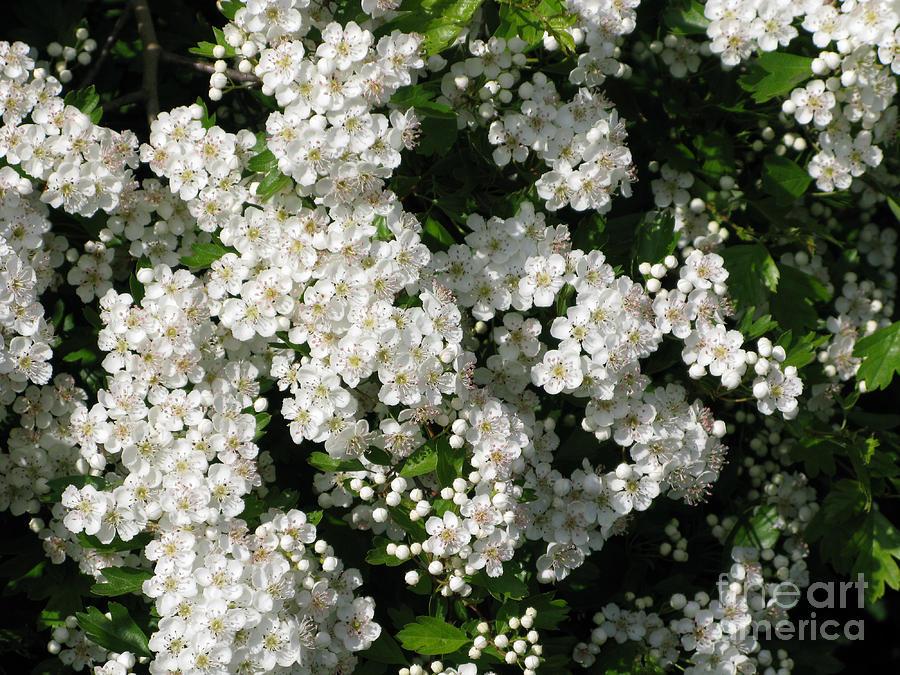 Hawthorn Photograph - Hawthorn In Bloom by Ann Horn