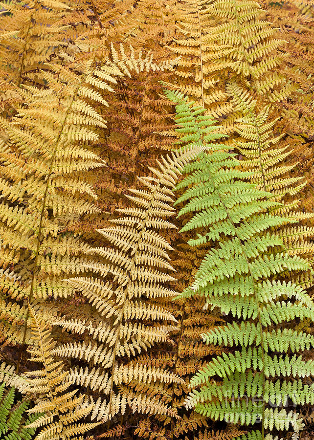 Fern Photograph - Hay-scented Ferns by Alan L Graham