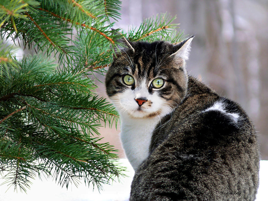 Cat Photograph - Hazel Eyes And Pine by Christina Rollo