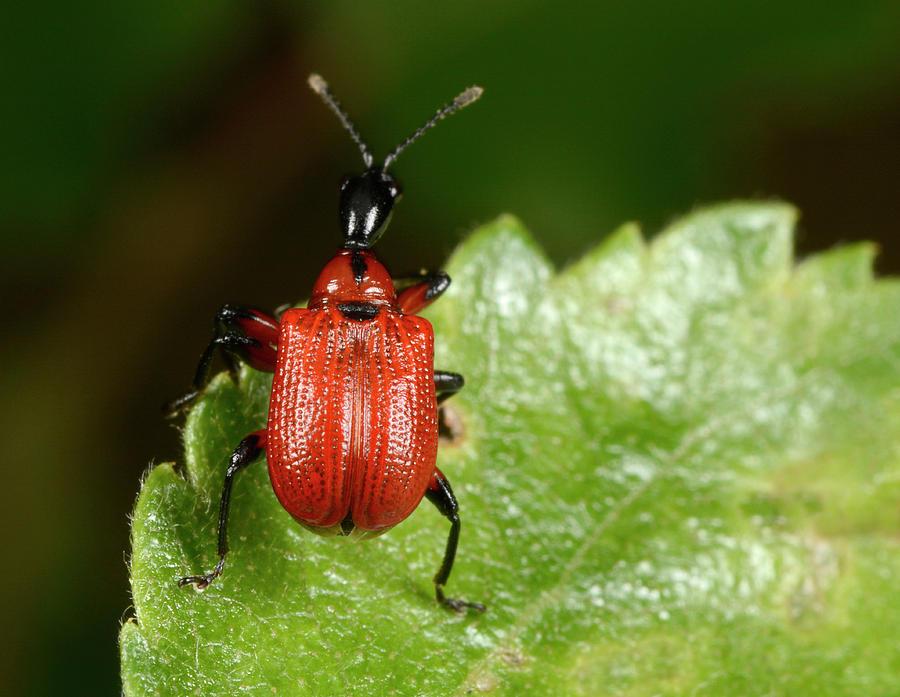 Insect Photograph - Hazel Leaf-roller Weevil by Nigel Downer