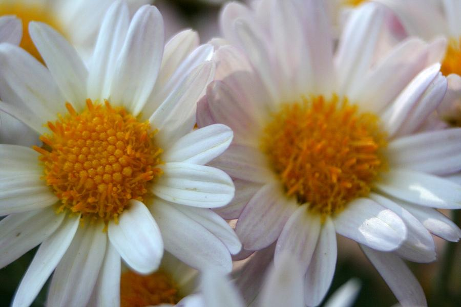 Common Daisy Photograph - Hazy Day Daisies  by Taiche Acrylic Art