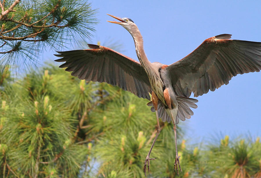 Blue Heron Photograph - Hb In The Pines by Deborah Benoit