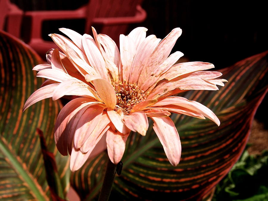 Flower Photograph - He Loves Me He Loves Me Not by Valeria Donaldson