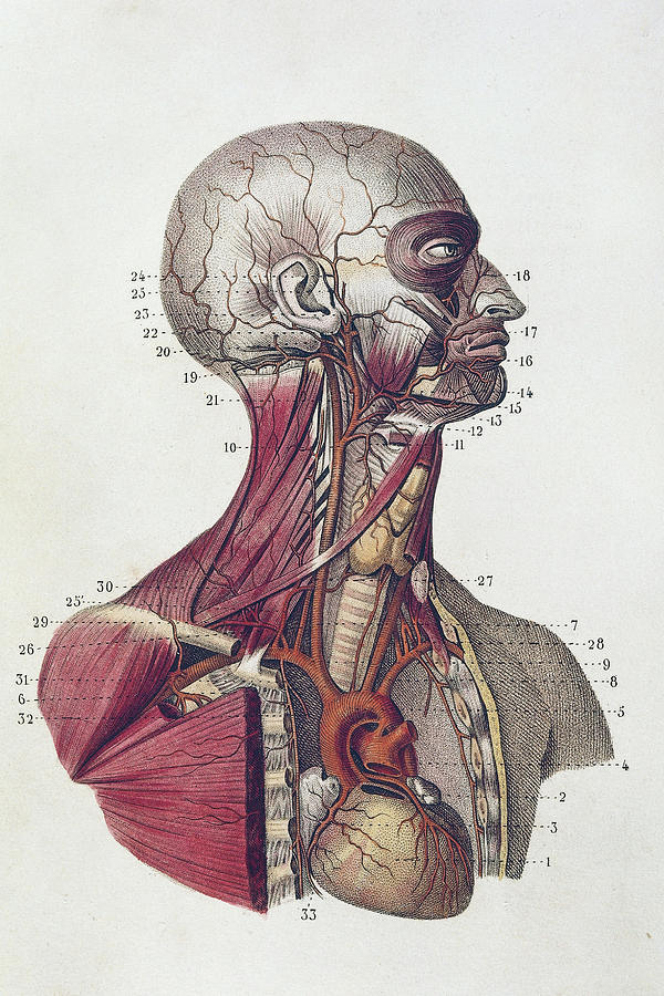 Head And Neck Anatomy Photograph By De Agostini Picture Library