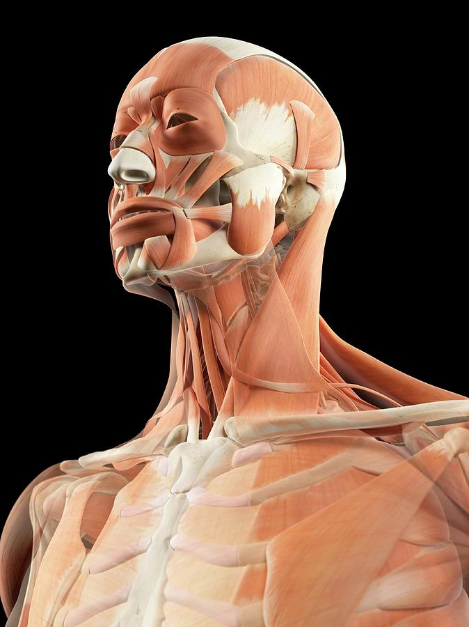 Head And Neck Muscles Photograph By Sciepro