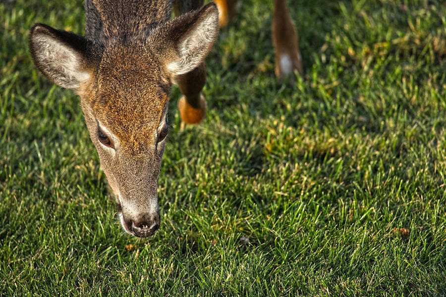 Deer Photograph - Head First by Karol Livote