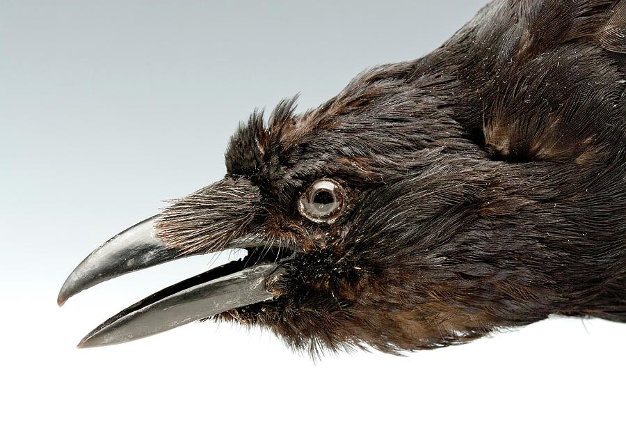 Head Of A Stuffed Carrion Crow Photograph by Ucl, Grant Museum Of ...
