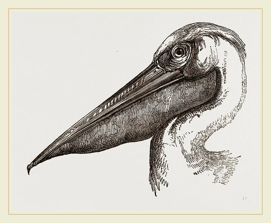 рисунок пеликан с лягушкой в пасти постарайтесь найти место