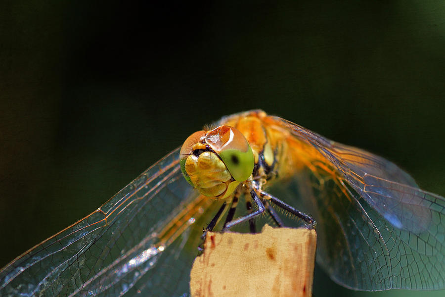Dragonfly Photograph - Head On Collision? by Donna Kennedy