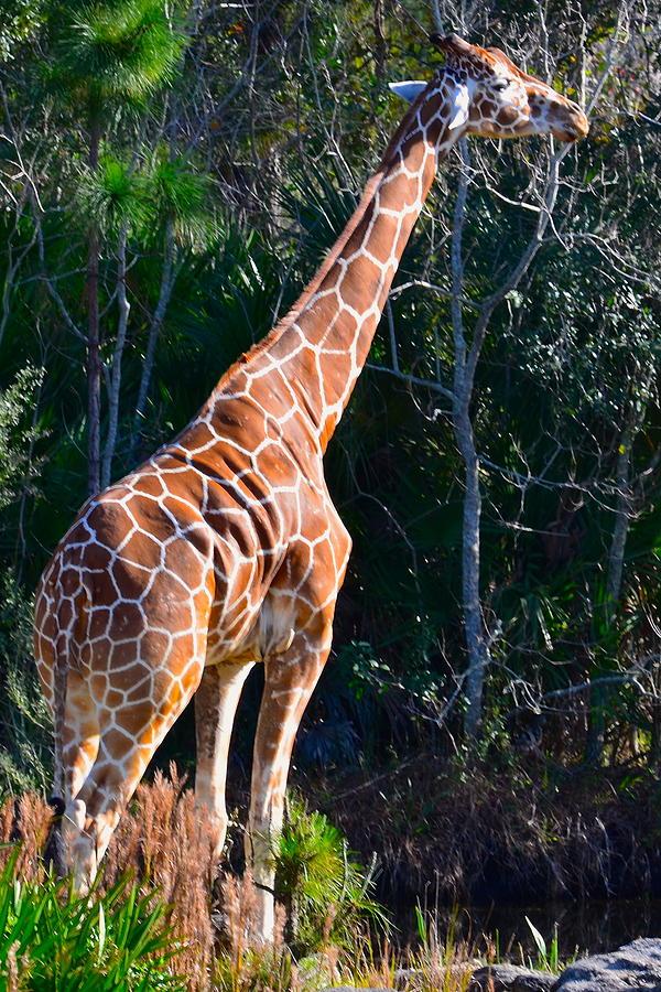 Giraffe Photograph - Head Room by AnnaJo Vahle
