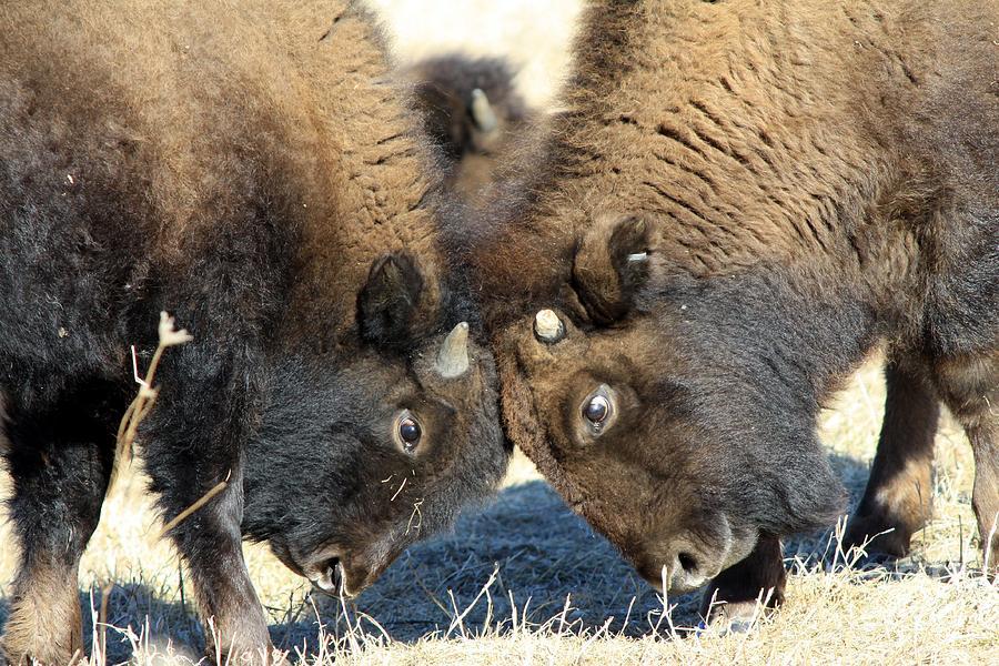 Buffalo Photograph - Head To Head by Rick Rauzi