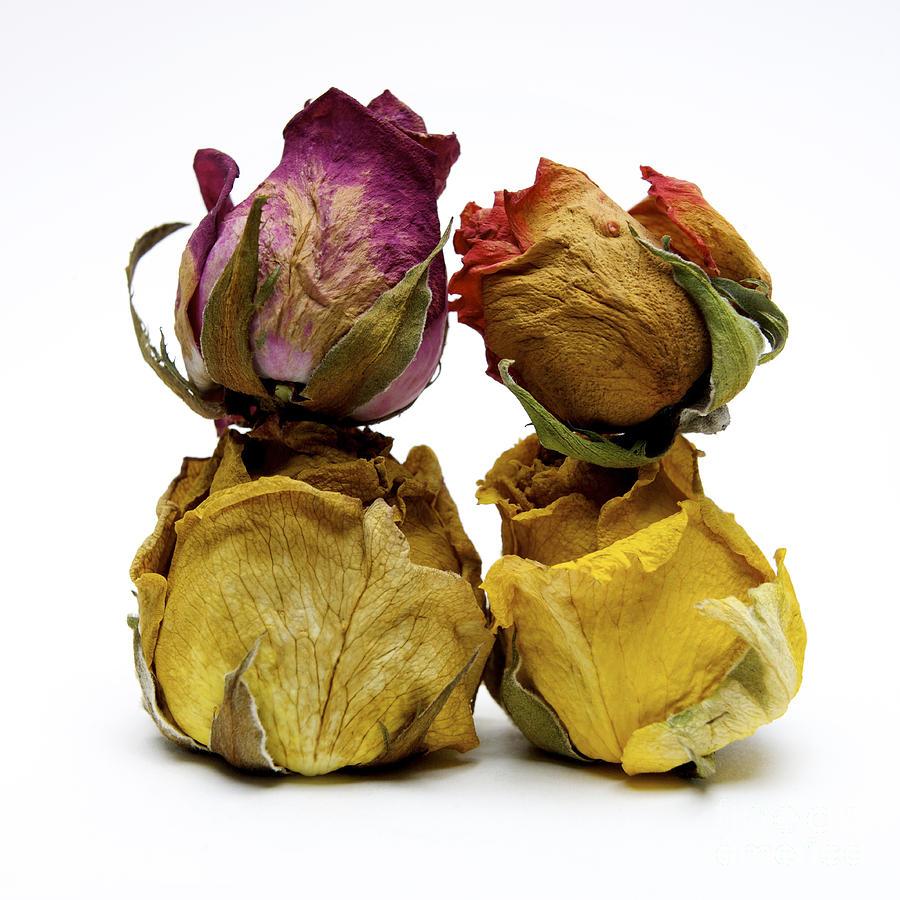 Indoors Photograph - Heap Of Wilted Roses by Bernard Jaubert