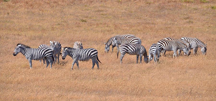 Zebra Photograph - Hearst Castle Zebras by Lynn Bauer