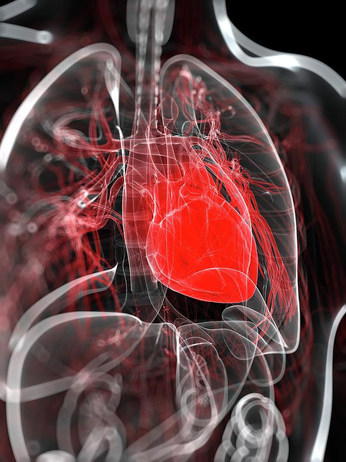 Heart Anatomy, Artwork Digital Art by Sciepro