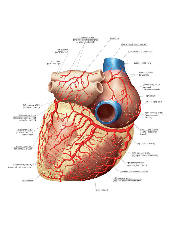 Heart And Right Coronary Artery Photograph By Asklepios Medical Atlas