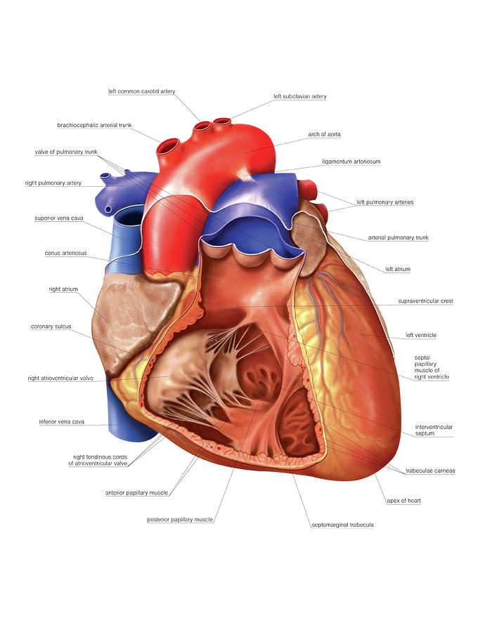 Heart And Right Ventricle Photograph by Asklepios Medical Atlas