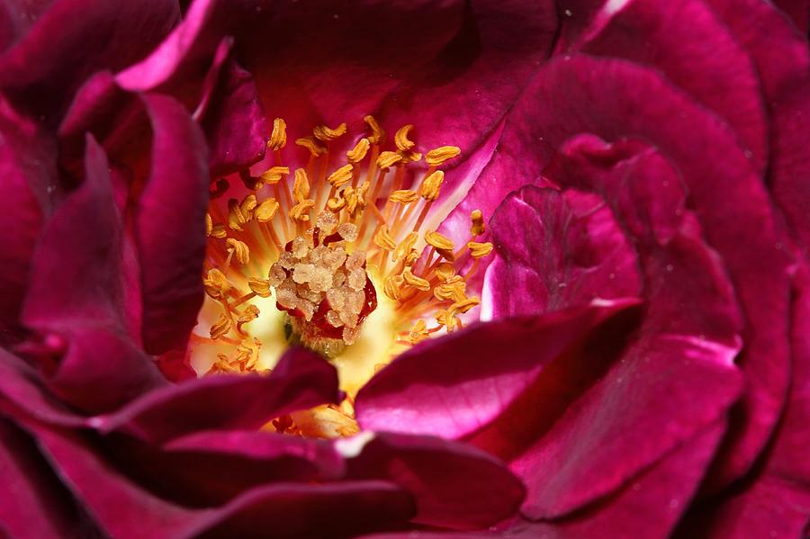 Rose Photograph - Heart O The Rose by Mike Farslow