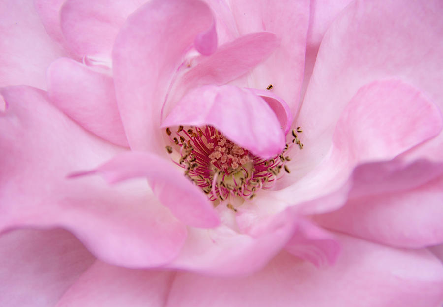 Rose Photograph - Heart of a Rose by Diana Nault