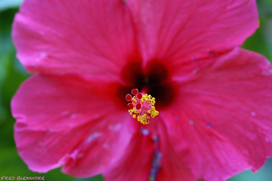 Flower Photograph - Heart Of Hibiscus by Fred Alexandre