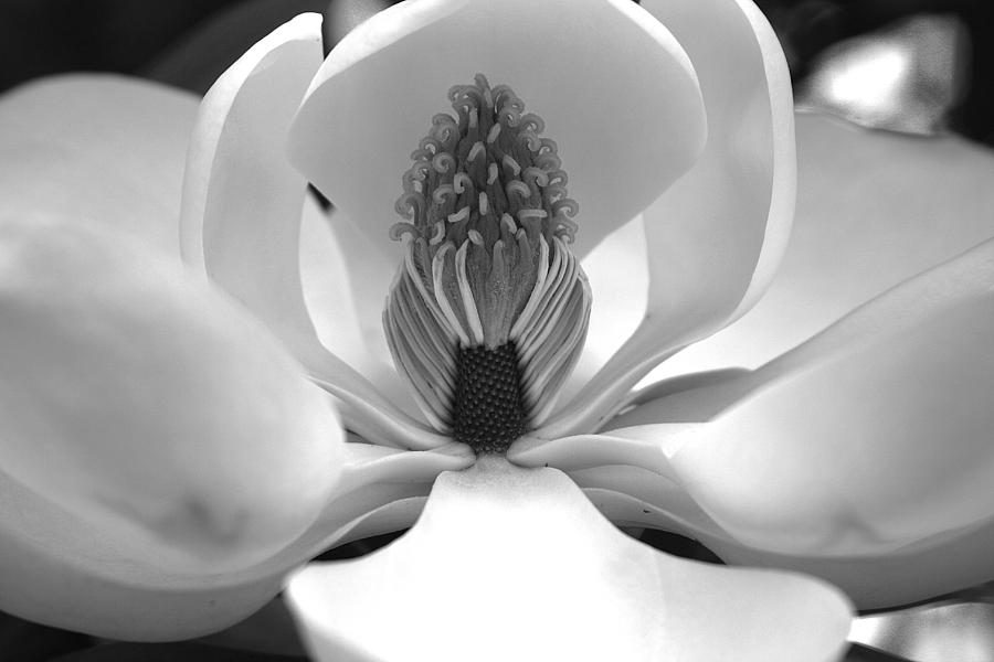 Heart Of The Magnolia Black And White Photograph By Andy