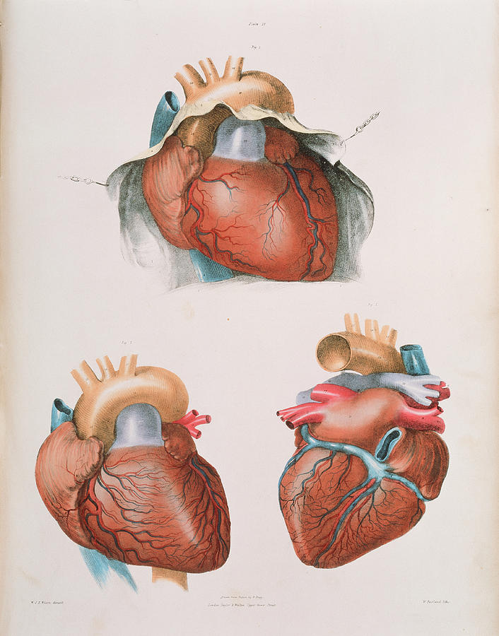 19th Century Photograph - Heart by Sheila Terry/science Photo Library